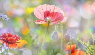 Der Frühling könnte schon bald Einzug halten. (Foto)