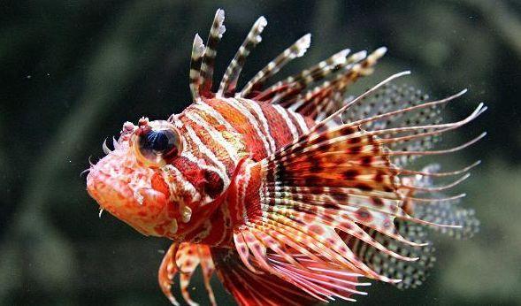 Der hochgiftige Rotfeuerfisch bedroht Europas Badestrände. (Foto)
