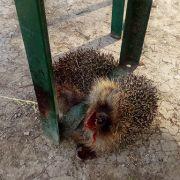 Igel mit Bierbank zu Tode gequetscht (Foto)
