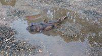 Der Port-Jackson-Stierkopfhai kann ausgewachsen bis zu über einen Meter lang werden. (Foto)