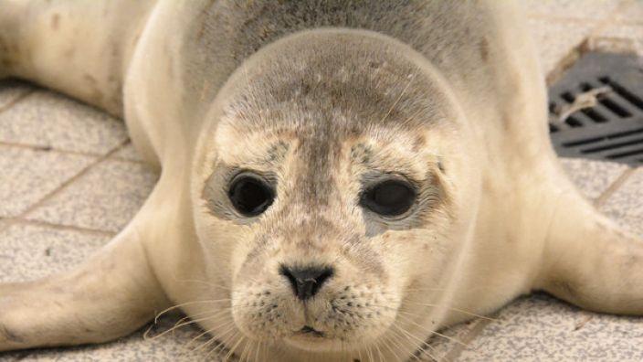 """Der Seehund """"Stormy"""" hatte sich während des Sturms """"Xavier"""" wegen des starken Seegangs auf das Festland gerettet. Passanten informierten den Jagdreviermeister, der das Tier abholte. (Foto)"""