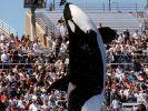 Der US-Freizeitpark SeaWorld will eine umstrittene Show mit Orcas einstellen. (Foto)