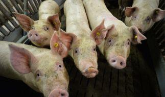 Die Afrikanische Schweinepest bedroht Deutschland. (Foto)