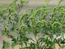 Die Ambrosia-Pflanze sieht wie unscheinbares Unkraut aus, kann jedoch Allergien auslösen. (Foto)