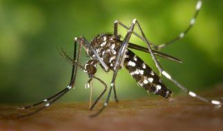 Die Asiatische Tigermücke kann dem Menschen gefährlich werden. (Foto)