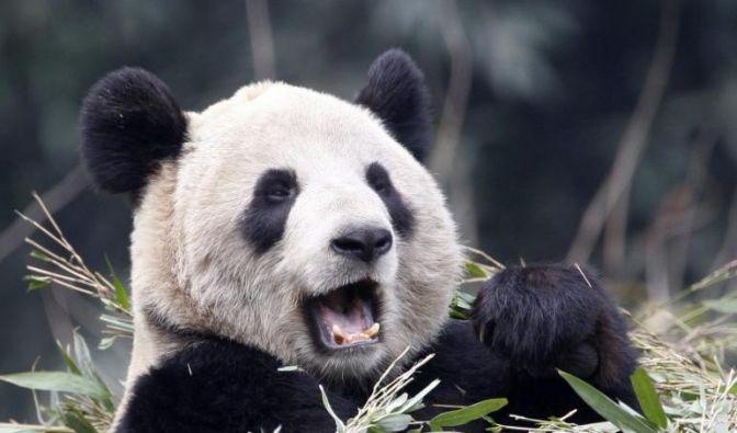 Die Exkremente von Pandabären werden jetzt für teuren Tee verwendet. (Foto)
