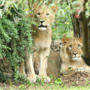 2 Löwen ausgebrochen, 1 Tier erschossen (Foto)