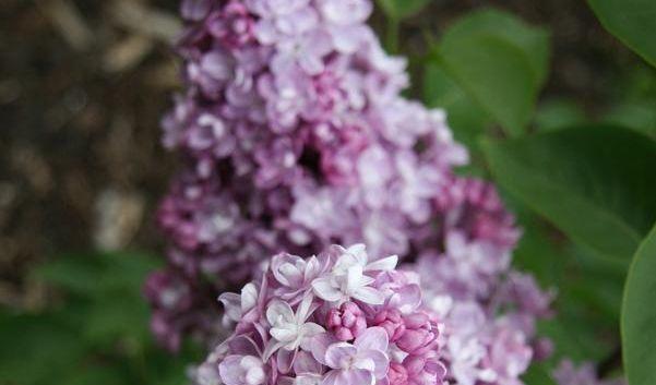 Die Renaissance der Gartenromantik: Der Flieder (Foto)