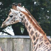 Tier-Drama! Giraffe erstickt am eigenen Futter (Foto)