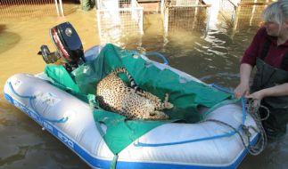 Dieser Gepard aus dem Tierpark Bernburg hatte Glück - er wurde vor der Saale-Flut gerettet. (Foto)