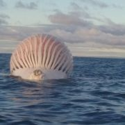 Dieses rosa Meeres-Monster ist tatsächlich ein toter Wal. (Foto)