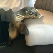 Dieses hungrige Seelöwenbaby verirrte sich in ein Luxusrestaurant. (Foto)