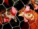 Dioxin-Skandal wird größer: 934 Höfe neu gesperrt (Foto)