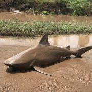 Wie in Sharknado! Wirbelsturm spült in Australien Hai an Land (Foto)