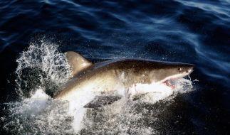 Ein Hai wurde von Unbekannten zu Tode geschleppt. (Symbolbild) (Foto)