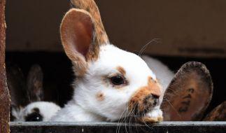 Ein Kaninchen im Tierpark Klingenthal musste eingeschläfert werden, nachdem ihm von Kindern die Wirbelsäule gebrochen wurde (Symbolbild). (Foto)