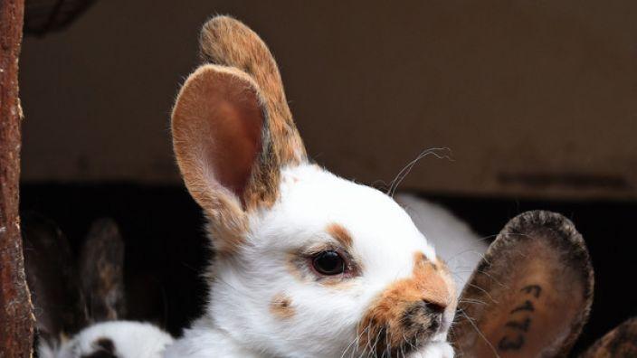 Ein Kaninchen im Tierpark Klingenthal musste eingeschläfert werden, nachdem ihm von Kindern die Wirbelsäule gebrochen wurde (Symbolbild).