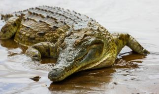 Ein Krokodil hat einen achtjährigen Jungen gefressen. (Foto)