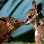 Mann füttert Mini-Känguru mit hochprozentigem Alkohol (Foto)