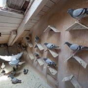 Nackter Mann aus Gefangenschaft in Taubenschlag befreit (Foto)