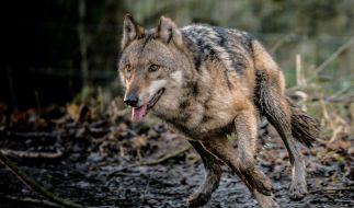 wolfsrudel in niedersachen mann behauptet w lfe t teten hund beim spaziergang. Black Bedroom Furniture Sets. Home Design Ideas