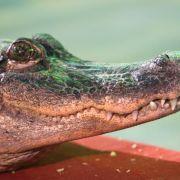 Ein Zirkus hat in der tschechischen Stadt Kladno sein Krokodil vergessen.