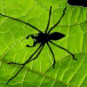 Spinnenbiss lässt Mann das Bein verfaulen (Foto)