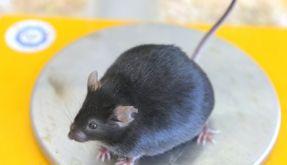 Eine dicke Maus mit einem Gewicht von 49,2 Gramm sitzt bei einer wissenschaftlichen Untersuchung zur (Foto)