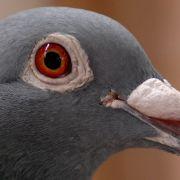 Eine Taube stalkte eine Frau über Wochen derart, dass die Bedrohte zur Polizei ging.