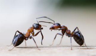 Einem Mädchen entfernten Mediziner über 1000 Ameisen aus dem Ohr. (Foto)