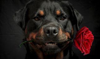 """Einen sogenannten """"Kampfhund"""" gibt es nicht. (Foto)"""