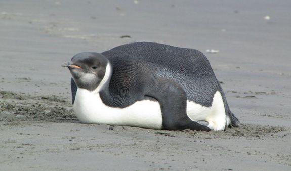 Einsamer Pinguin mit Problemen (Foto)