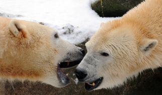 Eisbär Knut freut sich: Sein Weibchen-Bestand ist klar definiert. Seine frei lebenden Artgenossen da (Foto)