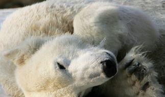 Eisbär (Foto)