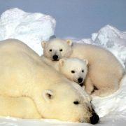 Eisbären sind die größten Landraubtiere – 800 Kilo schwer, drei Meter lang. Vor allem im kanadischen Städtchen Churchill kommt es immer wieder zu Begegnungen mit Menschen.