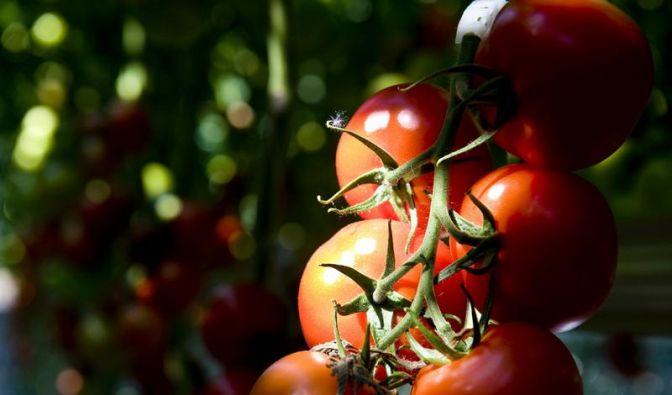 Erbgut der Tomate ist entziffert (Foto)