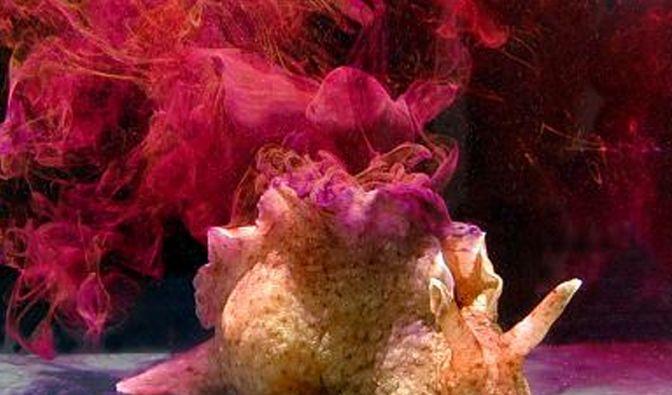 Eric Kandels Lieblingstier, die Meeresschnecke Aplysia. (Foto)