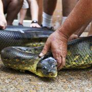 Es gibt vier Schlangenarten, die es schaffen, einen Menschen am Stück herunterzuschlucken: Anakonda, Netzpython, Tigerpython und Nördliche Felspython.