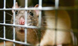 EU-Gutachter: Genmais-Rattenstudie nicht fundiert (Foto)