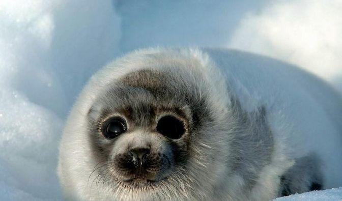 EU will Bann von Robbenprodukten aus Kanada (Foto)