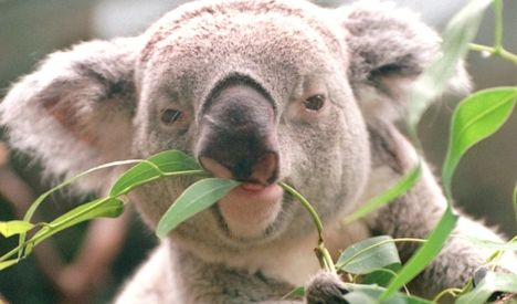 Eukalyptus (Foto)