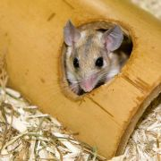 Exotische Nager: Stachelmäuse gehören in erfahrene Hände (Foto)