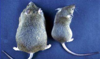Fehlendes Gen lässt Mäuse Fett ansetzen. (Foto)