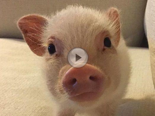 hausschwein hank ist hank das coolste ferkel der welt videos. Black Bedroom Furniture Sets. Home Design Ideas