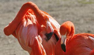 Flamingos (Foto)