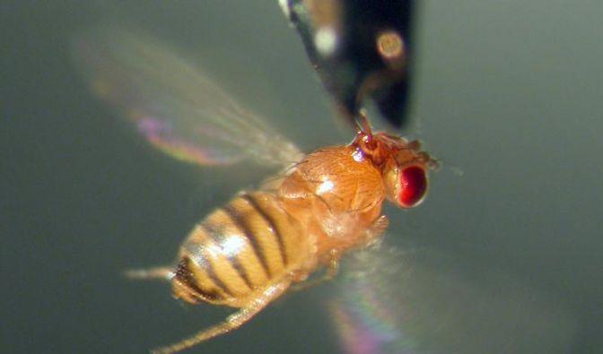 Fliegen haben ein Duftgedächtnis für Süßes (Foto)