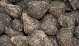 Forscher finden Schossgen der Zuckerrübe (Foto)
