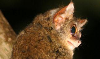 Frankfurter Forscher entdeckt Zwerg-Affenart (Foto)