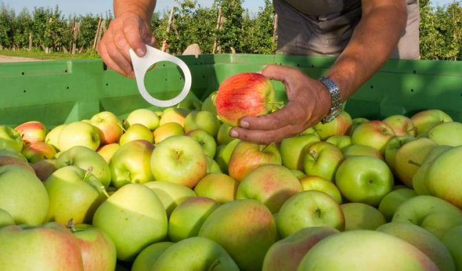 Frühäpfel halten sich nur kurz (Foto)