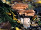 Frühe Pilzsaison: Nur für eigenen Bedarf ernten (Foto)
